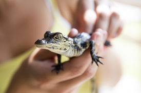 stock photo of alligator  - Cute baby alligator being held in the Everglades - JPG