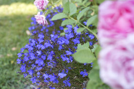 pic of lobelia  - Blue lobelia flowers and blurred pink rose in the foreground growing outdoors in the garden - JPG