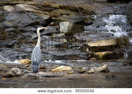 grey heron standing on the riverbank, Vosges, france