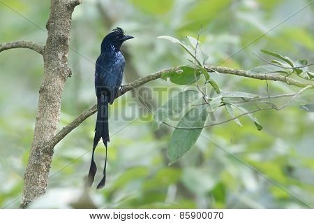 Greater Racket-tailed Drongo Bird In Nepal
