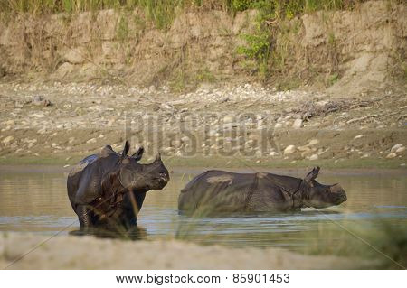 Tow Greater One-horned Rhinoceros Taking Bath In Nepal