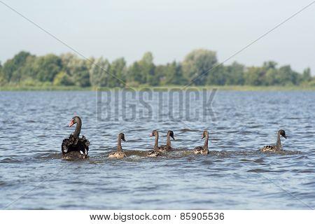 Swimming black mute swans in lake