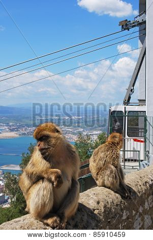 Barbary Apes, Gibraltar.