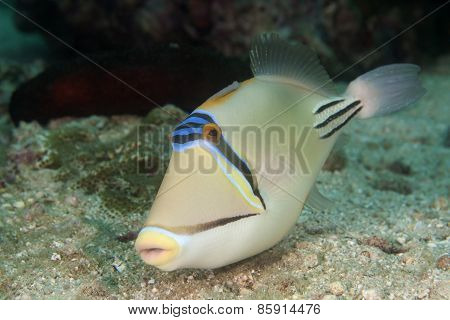 Curious Picasso Triggerfish