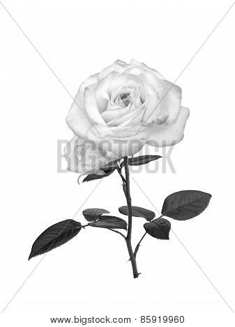 Delicate Uncolored Rose