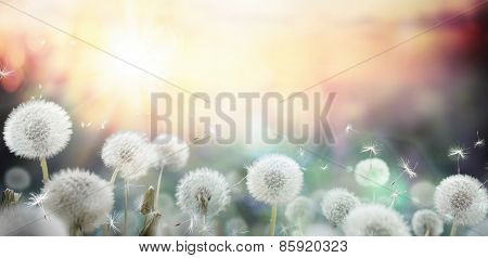 field of dandelion in sunset - bokeh and allergy