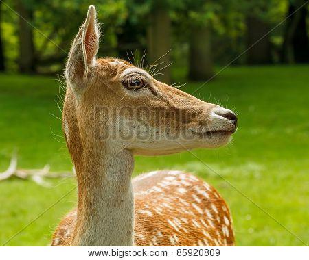 Side On Portrait Of Dutch Deer
