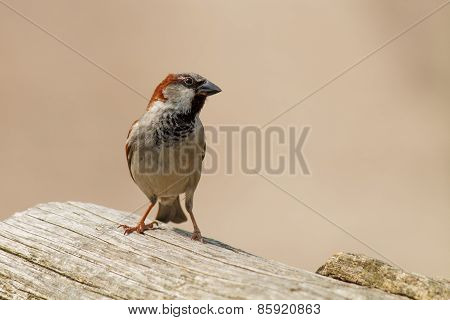 Sparrow On Tree Trunk
