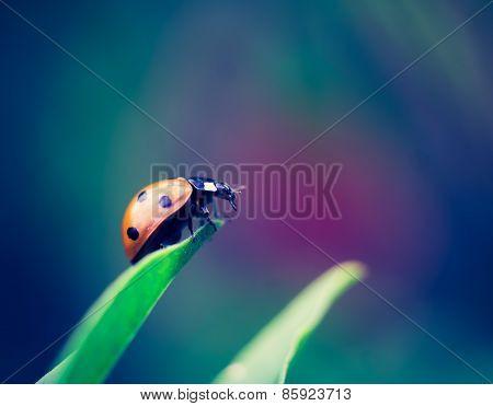 Vintage Photo Of Ladybug