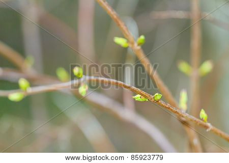 Opening buds in early springtime on tree branch