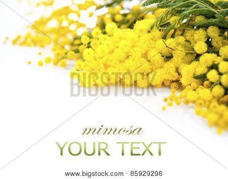 Mimosa spring flowers branch border isolated on a white background