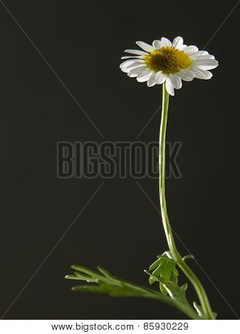 daisy flowers on the black background