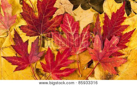 autumn maple leaves on dark wood