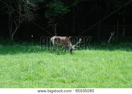 Male Dappled Deer