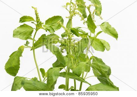 Sweet Basil Leaf In White Background