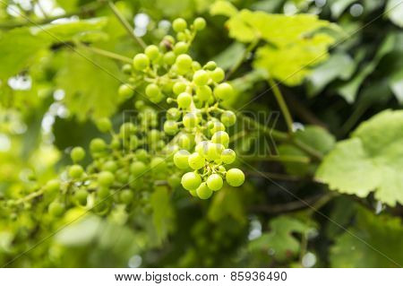 Grapes growing in a village in the South of France