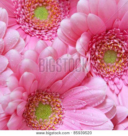 Pink Gerber Flowers.