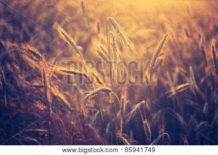 Vintage Photo Of Cereal Field