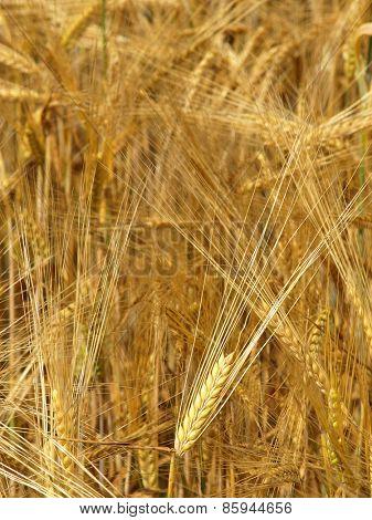 Wheat - Close up of a wheat field