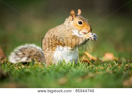 Eastern Grey Squirrel (Sciurus carolinensis) eating a nut