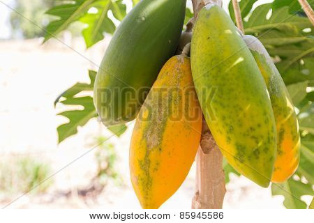 Papaya Fruit On Tree Trunk