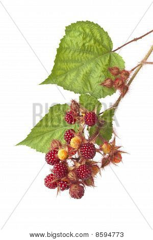 Branch of Japanese Wineberry