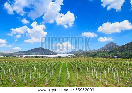 Vineyard in rural of Thailand