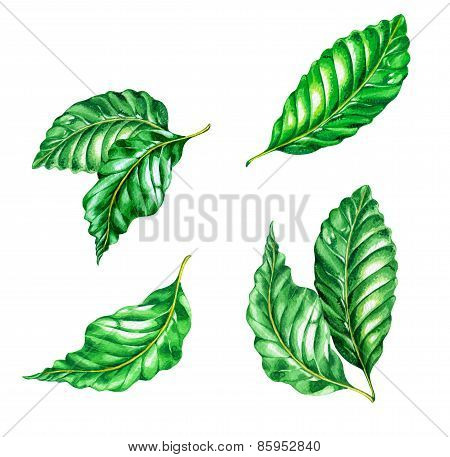 A Set Of Ficus Leaves.