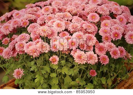 Pink Gerbera Flowers In Nature At The Garden