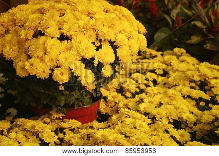 Yellow Gerbera Flowers In Nature At The Garden