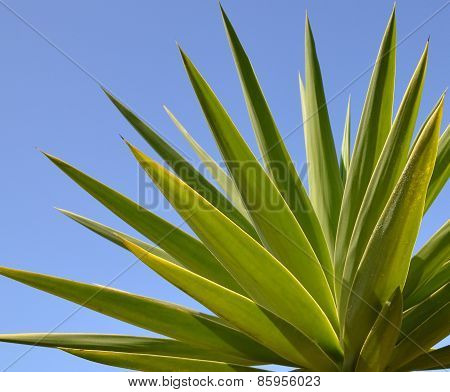 Yucca palm leaves.