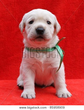 The Yellow Labrador Puppy Laying On Red Background