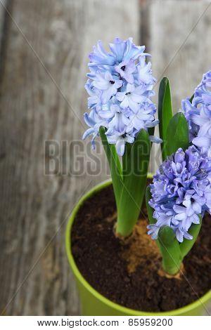 Blue Hyacinths In A Pot