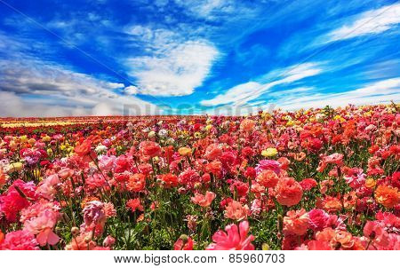 Picturesque field of the blossoming buttercups - ranunculus. Flowers are grown for export in the Nordic countries. Spring flowering garden large buttercups- ranunculus