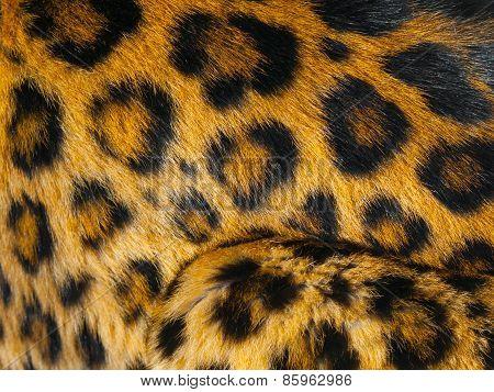 Leopard skin detail