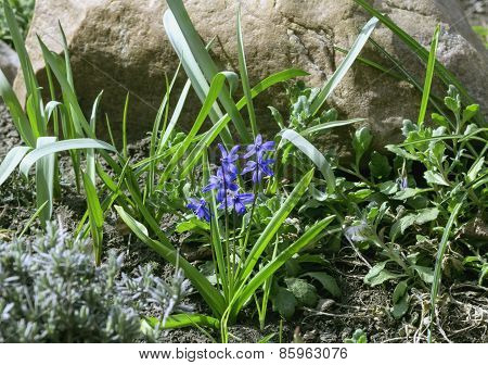 Flowers Of Scilla Siberica