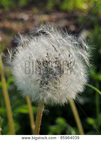 Common Dandelion With Seeds