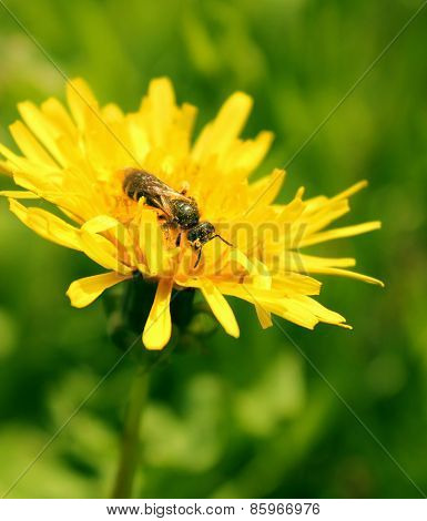 Bee Pollen On A Dandelion