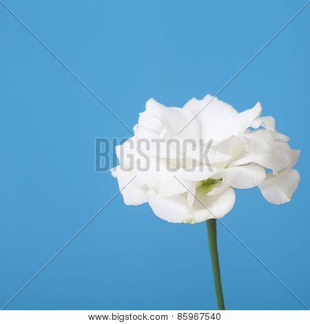 White Eustoma