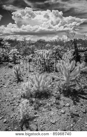 Wild Cactus In Arizona Desert