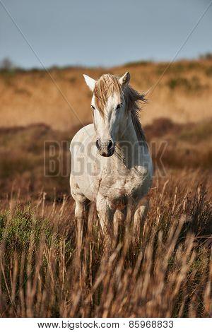 A White Stallion Of Camargue