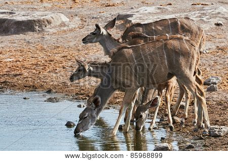 A Herd Of Greater Kudu Drinking