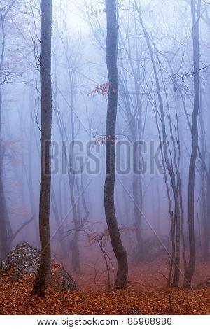 Fog In Autumn Beech Forest. Crimea, Ukraine.