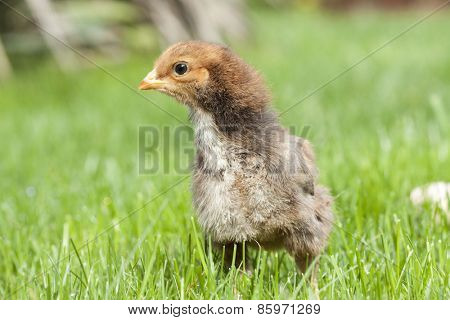 Easter chicken on green grass