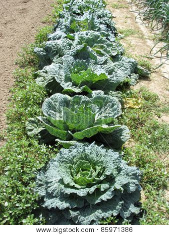 Array Of Cabbages