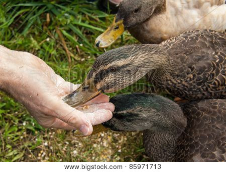 Friendly Ducks Eating Out Of A Man's Hand