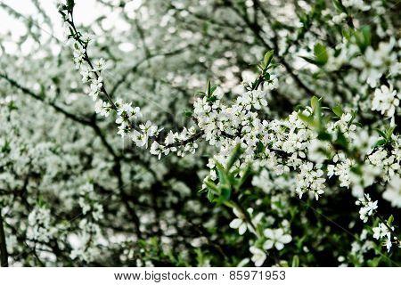 Wild Plum Flowering