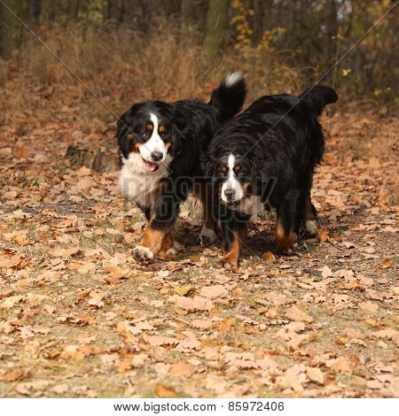 Beautiful Bernese Mountain Dogs Running