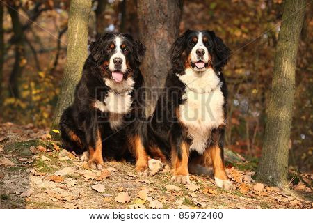 Amazing Bernese Mountain Dog Sitting Together