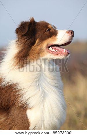 Amazing Beautiful Australian Shepherd